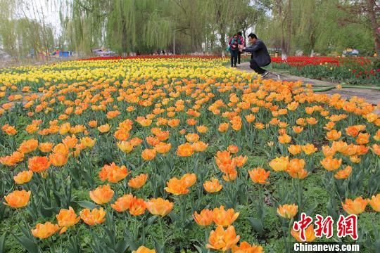如今的郁金香花季已成为五家渠市一张亮丽的名片,成为新疆北部地区独具特色的旅游胜地。(资料图) 戚亚平 摄