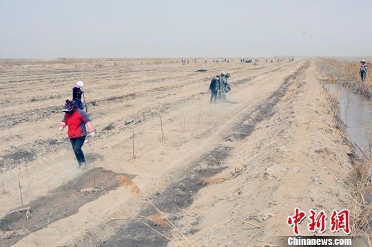 新疆南部且末县引进美国杏李、西梅规模化种植。王小军 摄