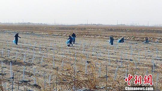 苏中农场杏李种植现场。王小军 摄