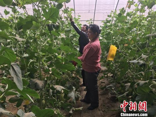 图为村民在保温篷房里种植哈密瓜。 杜燕 摄