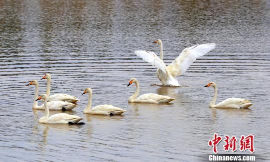 振翅起舞曲颈戏水的白天鹅。 李靖海 摄