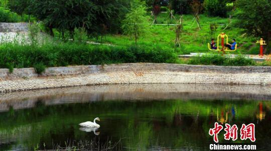 正在月光湖里休养的白天鹅。 李靖海 摄