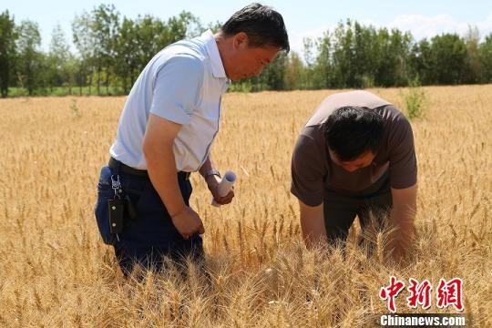 经测产,今年二二二团小麦平均单产达497公斤,总产量创历史新高。 桑森森 摄