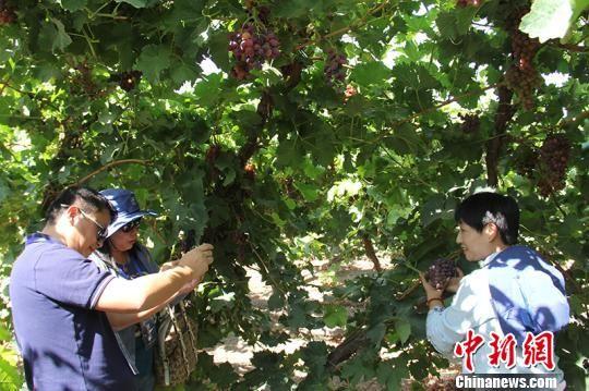 海外华文媒体在新疆兵团第二师二十四团葡萄种植基地参观采访。 戚亚平 摄