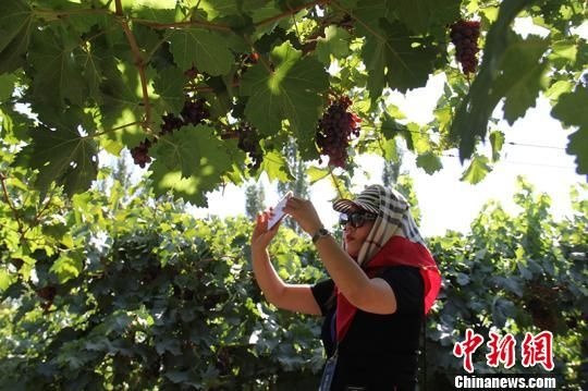 海外华文媒体走进新疆兵团第二师二十四团葡萄种植基地采访。 戚亚平 摄