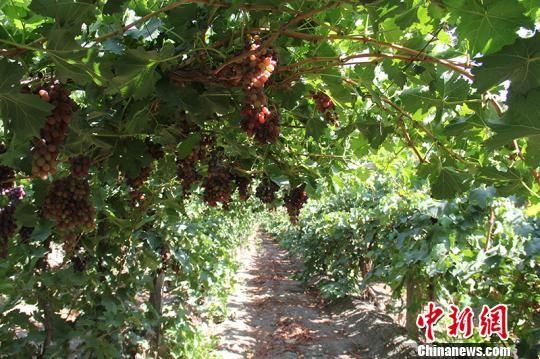 新疆兵团第二师二十四团目前葡萄种植面积达1.39万亩,年产葡萄1万多吨,年产值达5000万以上。 戚亚平 摄