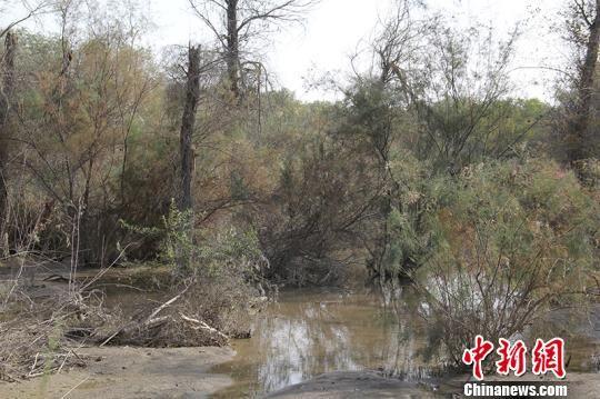 塔里木河源头周边分布着近6公顷的野生胡杨林,属于原生态景观。 戚亚平 摄