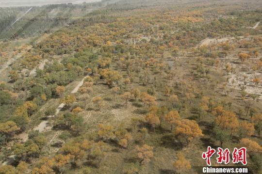 航拍国家5A级旅游景区泽普县金湖杨景区。 朱景朝 摄