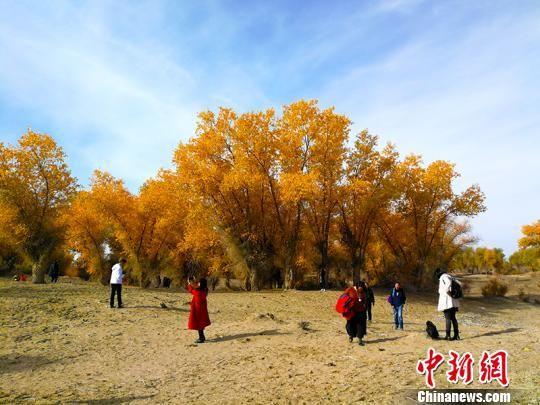 金色胡杨,吸引诸多游客拍照留念。 王小军 摄