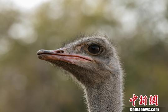 铁布花养殖的鸵鸟。 陶维明 摄