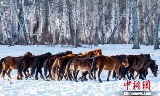 2018年的冬天,哈巴河的白桦林会不一样。 哈巴河县委宣传部供图 摄