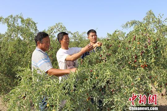 冯奇湘(中)为红枣种植户提供技术指导。(资料图) 崔伟 摄