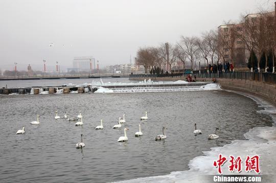 千余只天鹅等禽鸟在水中嬉戏。 杨厚伟 摄