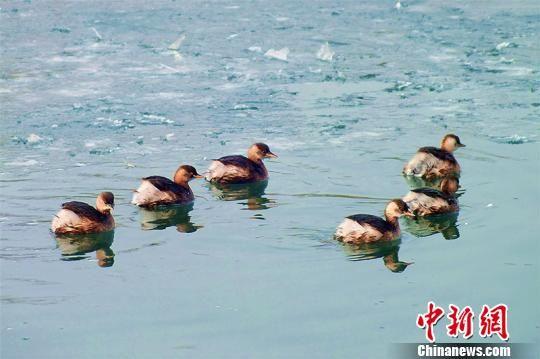 小�G�f在杜鹃河里游弋觅食。 杨厚伟 摄