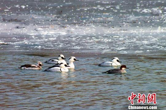 白色秋沙鸭自由自在地在杜鹃河上游弋嬉戏。 杨厚伟 摄