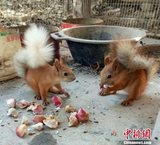 正在觅食的小松鼠互相你争我抢。 蒲媛媛 摄