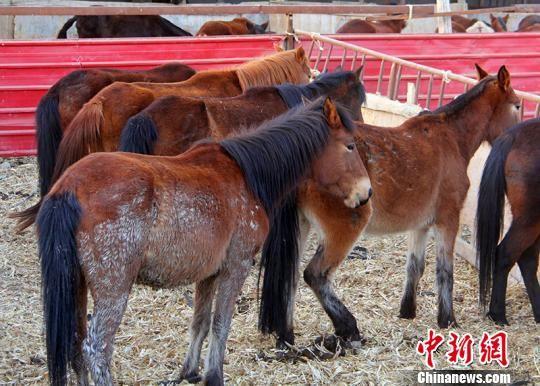 当地为了保护环境圈养马匹。 贾洪明 摄