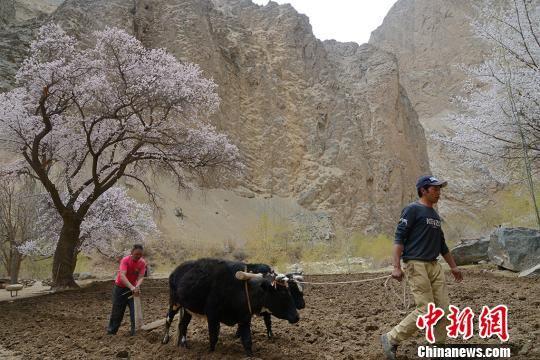 4月3日,杏花�_遍山谷溪�,�r民正在犁地。 勉征 �z