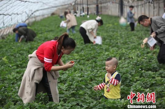 游客��一��w�著采摘的�啡ぃ�一�品�L著草莓的香甜,喜��之情溢于言表。 巴音�_�� �z