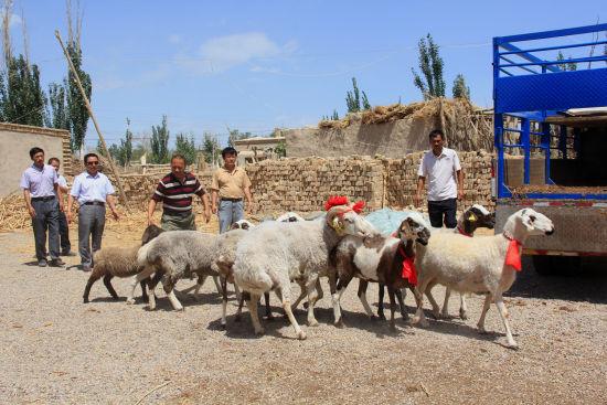 �F��楣爬瞻透襦l�送11只�N羊。