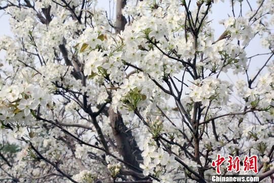盛�_的梨花呈�F出一派春意盎然的景象。 ��慧勇 �z