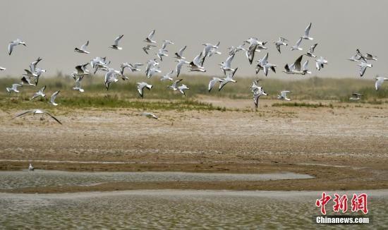8月26日,新疆南部塔里木河中下游,尾闾台特玛湖附近,大批的水鸟在水面周边展翅飞翔。中新社记者 刘新 摄