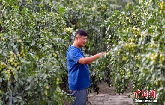 8月25日,新疆南部塔里木河中下游,当地农民正在果园里查看红枣的生长情况。中新社记者 刘新 摄