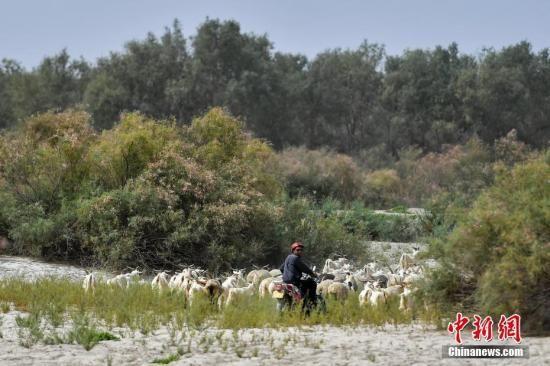 8月25日,新疆南部塔里木河中下游,尉犁县喀尔曲尕乡农民阿西木・百克力在野生胡杨林里放牧。中新社记者 刘新 摄