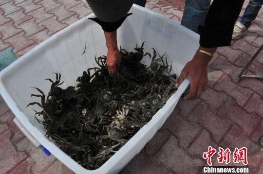 螃蟹长势良好,助力农牧民增收。 管小平 摄