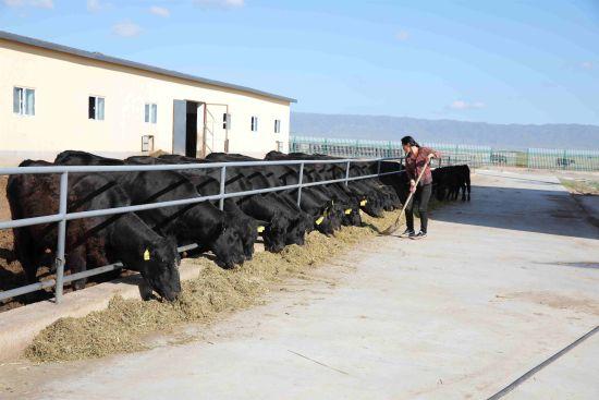 托里县萨尔巴斯陶村草蓄联营合作社优质牛养殖基地日常工作。图片由新疆油田公司新闻中心提供