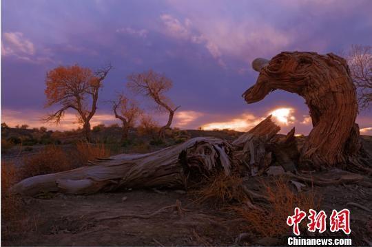 """胡杨树挺拔高大,苍劲古朴,素有""""生而不死一千年,死而不倒一千年,倒而不朽一千年""""的美誉。 庞博 摄"""