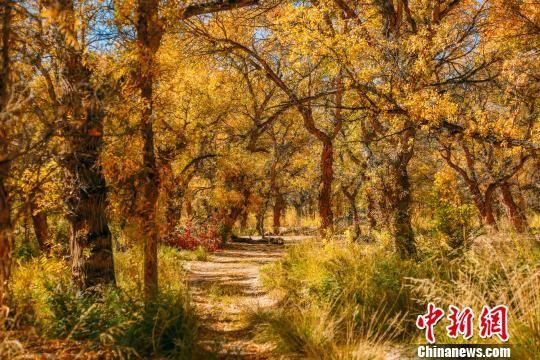9月中旬,新疆克拉玛依市乌尔禾区万亩胡杨林金光熠熠,吸引不少疆内外游客前往观览。 庞博 摄