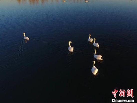 首批天鹅飞临伊犁河国家湿地公园内的芳草湖栖息。 史恭敬 摄