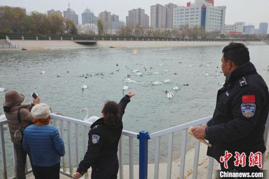 天鹅中队队员一天两次投喂越冬天鹅。 杨厚伟 摄