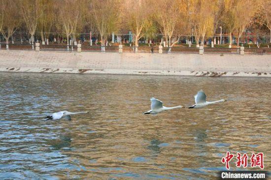 越冬天鹅在孔雀河上自由飞翔。 杨厚伟 摄