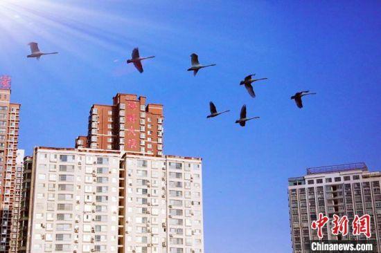 越冬天鹅在城市上空飞翔。 杨厚伟 摄