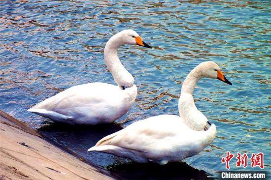 越冬天鹅在河边晒太阳。 杨厚伟 摄