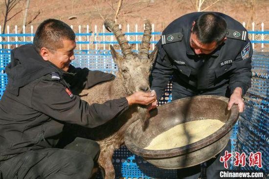 工作人员给北山羊喂食。 陶维明 摄