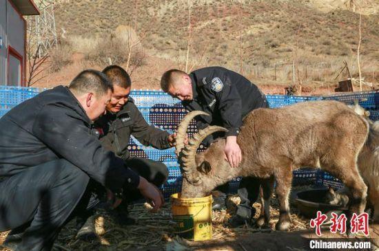 北山羊在工作人员照顾下喝水。 陶维明 摄