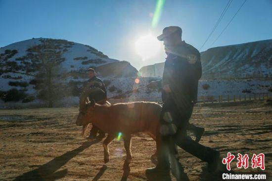 工作人员牵着北山羊送其回家。 陶维明 摄