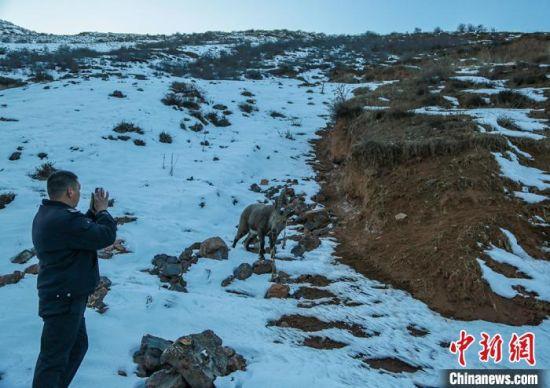 工作人员送北山羊回归大自然并拍照留念。 陶维明 摄