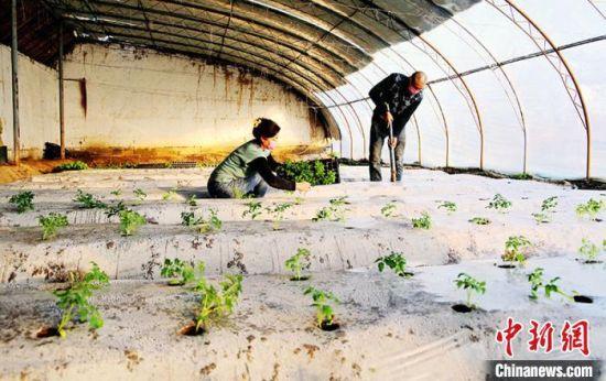 温宿县菜农从蔬菜基地购买菜苗,开始在大棚移栽。 颜寿林 摄