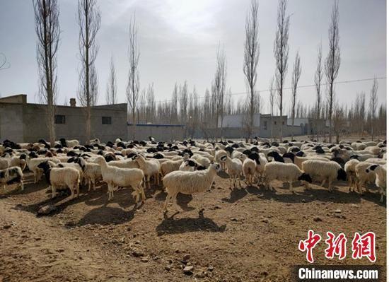 春暖花开之际,新疆和静牧民开始转场,即将转场到夏牧场的羊群。 毛阿拉腾图雅 摄