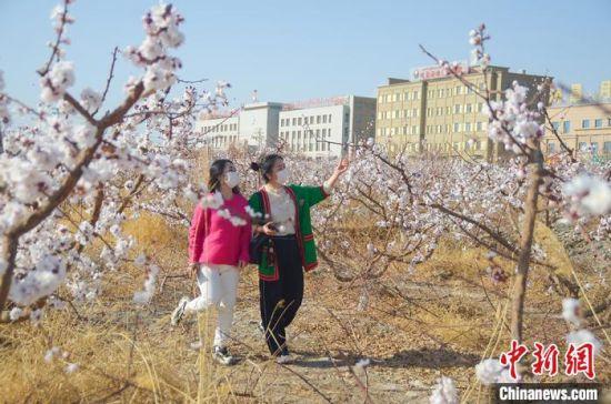 游客在吐鲁番的一片杏花中自拍。 苟继鹏 摄
