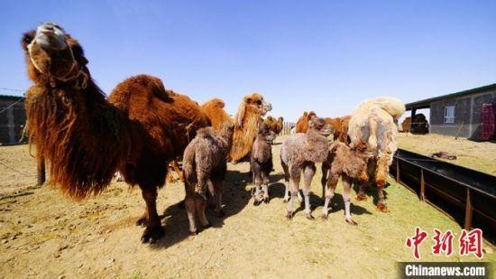 """2019年运营的新疆阿勒泰地区吉木乃县骆驼养殖产业园区""""万驼园""""带动当地3000余贫困户大幅增收。 王朝智 摄"""