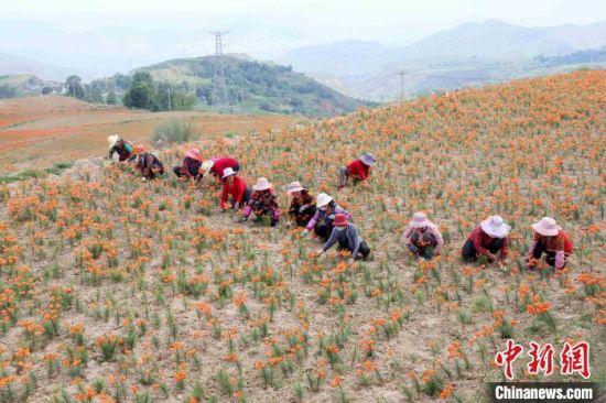 图为干旱山头上建起的百合种植基地。 石延寿 摄