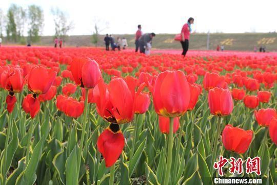 郁金香绚丽绽放,迎来游客观赏。(资料图) 戚亚平 摄