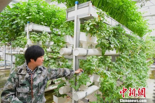 4月22日,新疆生产建设兵团第三师四十五团青年连青创生态园的温室大棚内,见习技术员陈华静在向记者介绍新技术栽培的农作物。 勉征 摄