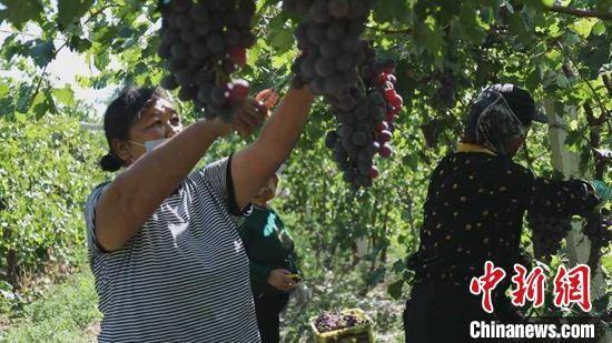 9月中旬,新疆霍尔果斯市莫乎尔片区的万亩红提葡萄进入采摘季。 李明 摄
