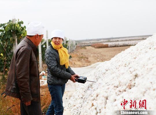 新疆兵团棉花进入采摘高峰 棉检员田间把关